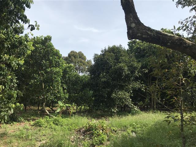 ที่สวน ผลไม้ อ เมืองปราจีนบุรี  7 ไร่กว่า เก็บผลได้ เหมาหมด 9 ล้าน ไม่เเบ่งขาย