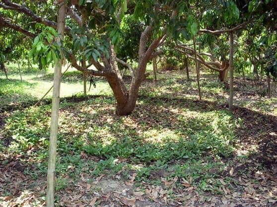 ให้เช่า ที่ดิน หารแก้ว 300 ตร.วา ซ.ป่าเหียง 1 เชียงใหม่