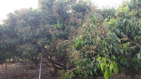 ขาย ที่ดิน พร้อมสวนลำไย จ.ลำพูน 3 ไร่ 2 งาน 62 ตร.วา มีต้นลำไย 200 ต้นพร้อมเก็บผลผลิต