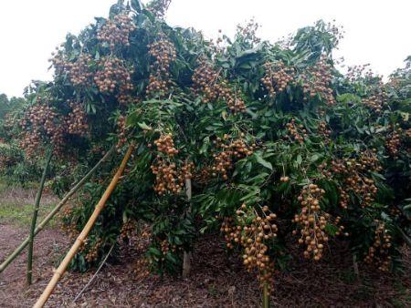 ขาย ที่ดิน พร้อมต้นลำไยประมาณ20ต้น 6 ไร่ 2 งาน 93 ตร.วา ลำไยออกผลทุกปี